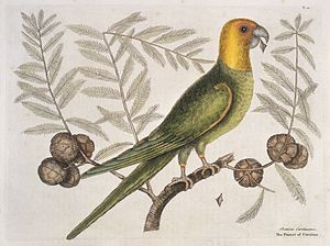 Parrot of Carolina on Cypress tree, 1731 Wellcome L0035347.jpg