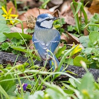 Eurasian blue tit - Eurasian blue tit in Sweden, April 2018