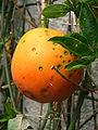 Passiflora caerulea (2005 10 08) - vrucht.jpg