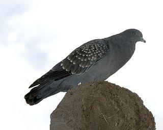 Spot-winged pigeon Species of bird