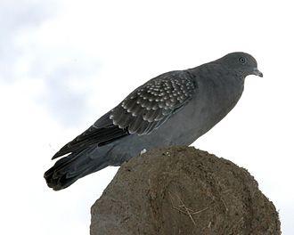 Spot-winged pigeon - Image: Patagioenas maculosa Argentina 8