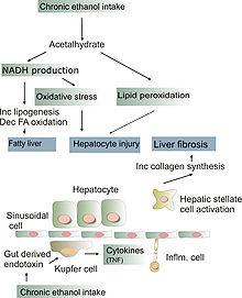 Pathogenesis of alcohol induced liver injury