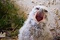 Pavarotti Owl - Flickr - desertdutchman.jpg