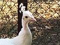 Pavo cristatus mut. alba (White Peafowl), Limonas Monastery, Kalloni, Lesbos, Greece.jpg