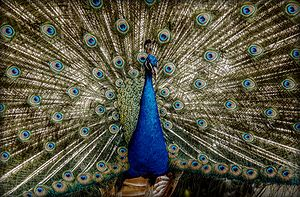 A Blue Peafowl (Pavo Cristatus) showing the train at Pistoia's Zoological Garden, Italy