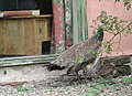 Peahen with chick at Shipley Gardens - geograph.org.uk - 905485.jpg