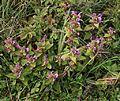 Pedicularis resupinata subsp. oppositifolia.JPG