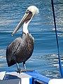 Pelican at Port - Cabo San Lucas - Baja California Sur - Mexico (23444256191).jpg