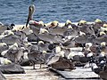Pelicans on Disused Dock - Santa Rosalia - Baja California Sur - Mexico (24073328325) (2).jpg
