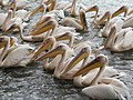 Pelicans on the lake Tana, Ethiopia.jpg