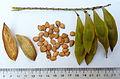 Peltophorum africanum03.jpg