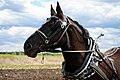 Percheron head in Home Carriage Festival.jpg