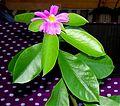 Pereskia Grandifolia 01.jpg
