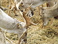 Persian Fallow Deers feeding.jpg