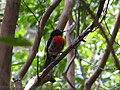 Petroica multicolor -Norfolk Island, Australia-8 (1).jpg