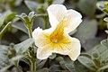 Petunia floribunda Yellow Madness 0zz.jpg