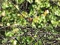 Phoenicurus phoenicurus, Bouzina, Algeria.jpg
