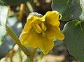 Physaliscrassifolia1.jpg