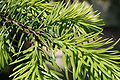 Picea omorika young shoot.JPG