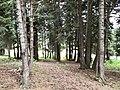 Picea orientalis - Oriental Spruce 02.jpg