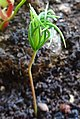 Picea sitchensis. Sitka Spruce. A seedling with cotyledons and juvenile leaves developing.jpg