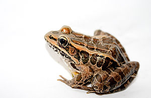 Pickerel frog - Image: Pickerel Frog