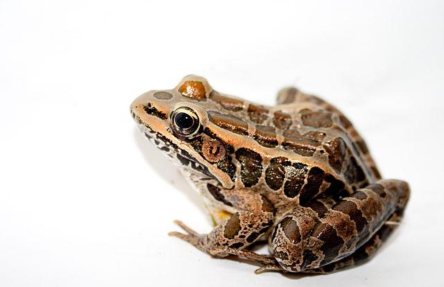 640px-Pickerel_Frog.jpg