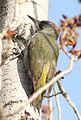 Picus viridis sharpei 086.jpg