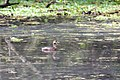 Pied-billed grebe (19646072944).jpg
