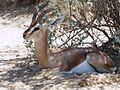 PikiWiki Israel 14396 Deer resting.JPG