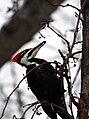 Pileated Woodpecker (3141463839).jpg