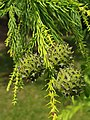 Pinales - Cryptomeria japonica - 7.jpg