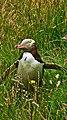 Pingüino Caminante (115648859).jpeg