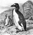 Pinguinus impennis-The Royal Natural History.jpg