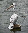 Pink-backed pelican (PJ Wetlands).jpg