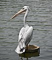 Pink-backed pelican (PJ Wetlands).jpg