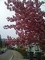 Pink flowers - panoramio.jpg