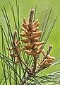 Pinus brutia - Flowers 02.jpg