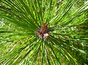 Description de l'image Pinus densata bud.jpg.