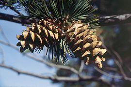 Pinus flexilis cones.jpg