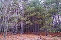 Pinus resinosa NOAA2.jpg