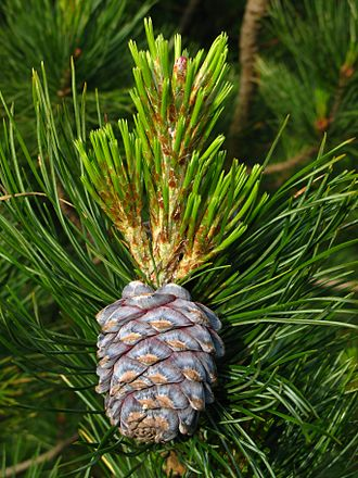 Pinus sibirica - Image: Pinus sibirica cone and shoots PAN