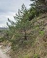 Pinus sylvestris in Aveyron (7).jpg