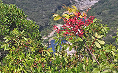 Pistachier térébinthe (Pistacia terebinthus L.) 2.jpg