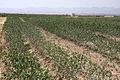 Pistachio farm in Bardeskan (1).JPG