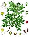 Pistacia lentiscus - Köhler–s Medizinal-Pflanzen-110.jpg