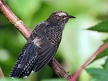 Plaintive Cuckoo (Immature) I IMG 7627.jpg