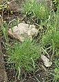 Plantago holosteum kz04.jpg