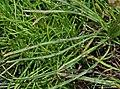 Plantago maritima leaf (03).jpg