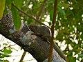 Plantain Squirrel (Callosciurus notatus) (15677883641).jpg